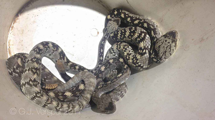 Crotalus ornatus bucket