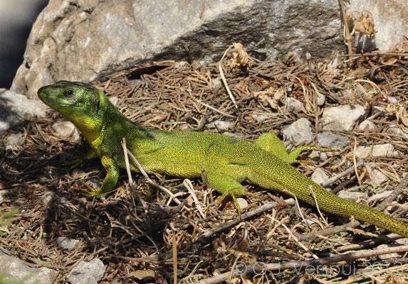 Balkan Green Lizard, Lacerta trilineata polylepidota