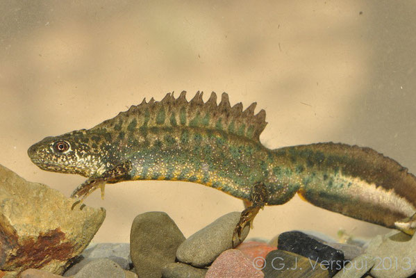 Macedonian Crested Newt - Triturus macedonicus