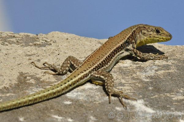 Cretan Wall lizard, Podarcis cretensis