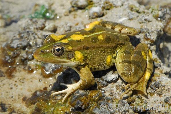 Iberian Water Frog - Pelophylax perezi
