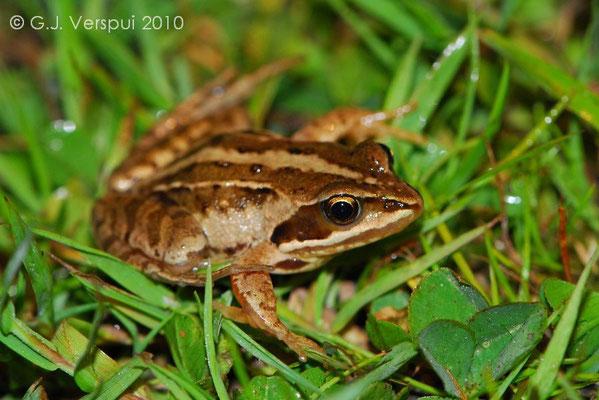 Moor Frog - Rana arvalis