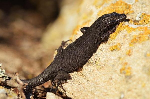 Lilford's Wall Lizard - Podarcis lilfordi jordansi