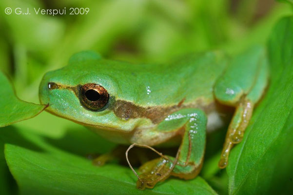 Common Tree Frog - Hyla arborea