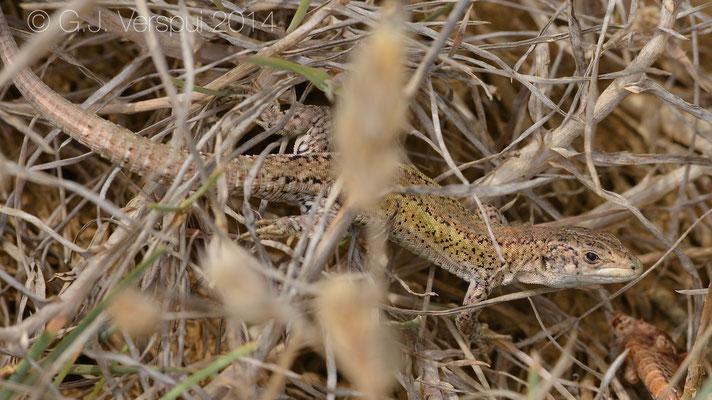 Carbonell's Wall Lizard - Podarcis carbonelli berlengensis