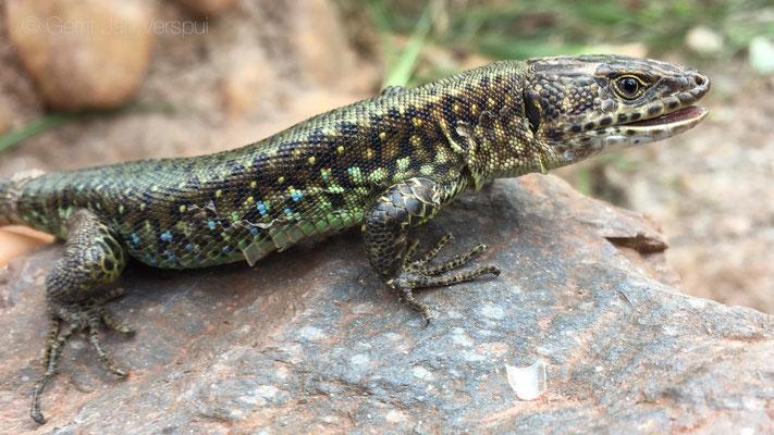 Jacksons Forest Lizard - Adolfus jacksoni