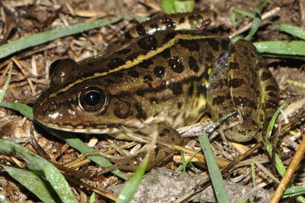 Epirus Water Frog - Pelophylax epeiroticus
