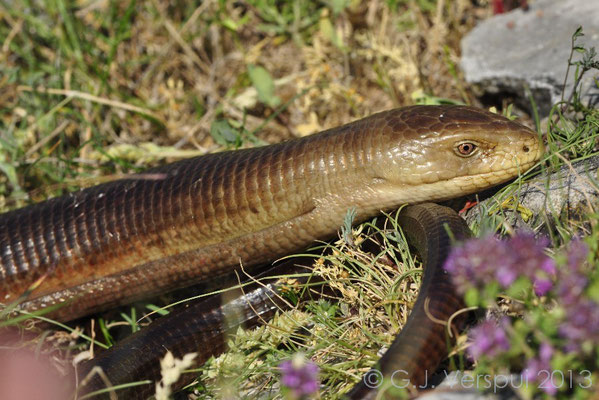 Glass Lizard - Pseudopus apodus, Not in situ.