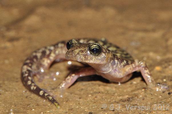 Sette Fratelli Cave Salamander - Speleomantes sarrabusensis