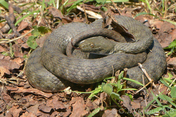 The biggest Dice Snake I've ever seen - Natrix tesselata