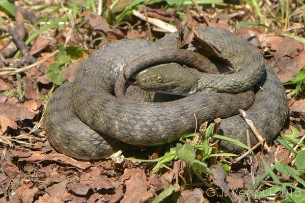 The biggest Dice Snake I've ever seen - Natrix tesselata