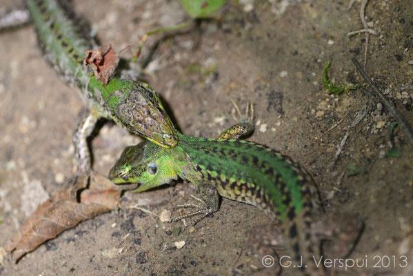 Italian Wall Lizard fight