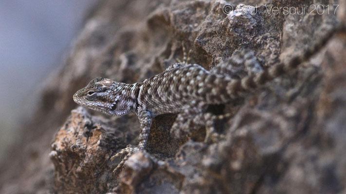 Sceloporus poinsettii polylepis