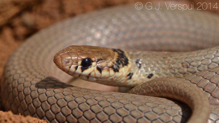 Dwarf Snake - Eirenis modestus