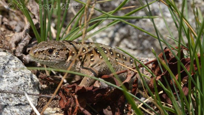 Sand Lizard - Lacerta agilis garzoni
