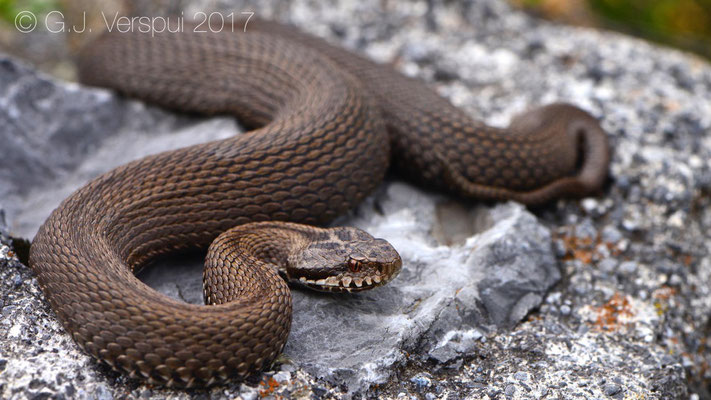 Female uniform colored Vipera seoanei