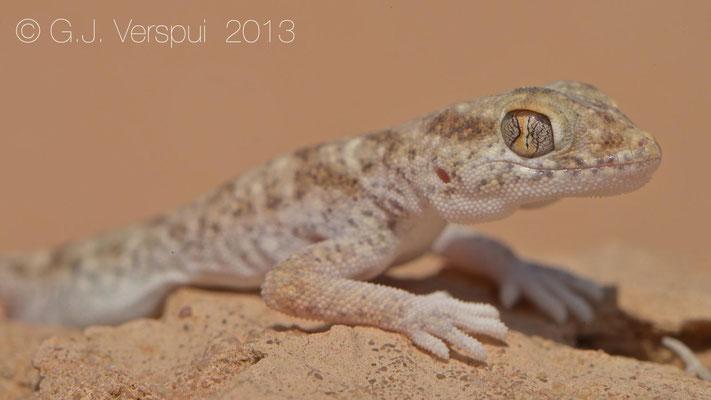 Lichtenstein's Short-Fingered Gecko - Stenodactylus sthenodactylus