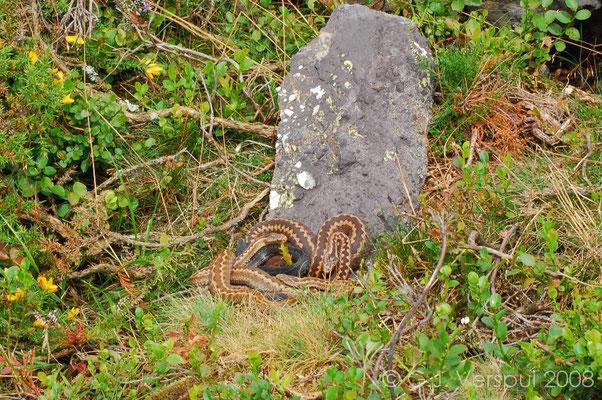 4 Seoane's Vipers - Vipera seoanei    In Situ