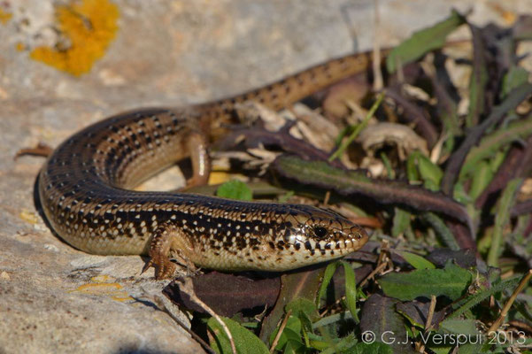Ocellated Skink - Chalcides ocellatus