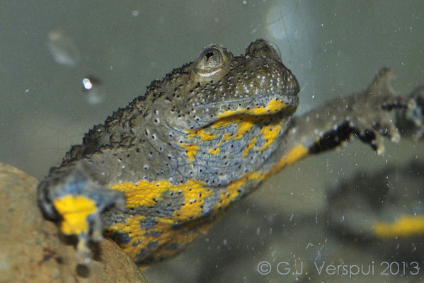 Yellow-bellied Toad - Bombina variegata scabra