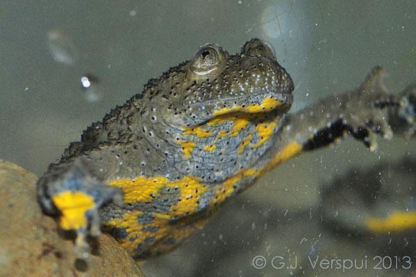 Yellow-bellied Toad - Bombina variegata scabra
