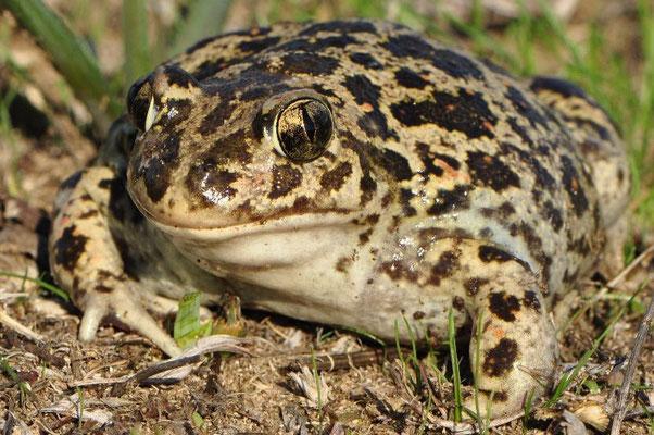 Eastern Spadefoot Toad - Pelobates syriacus (Female)