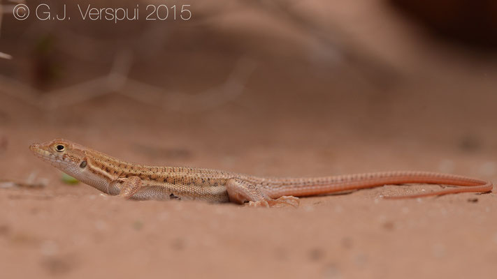 Acanthodactylus boskianus, In Situ