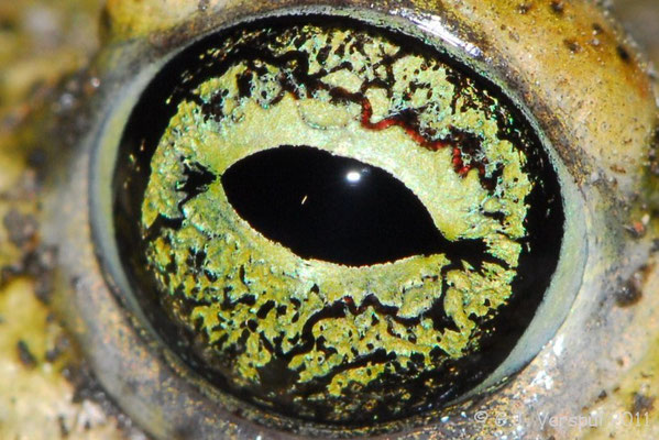 Eye of the Natterjack Toad - Bufo calamita
