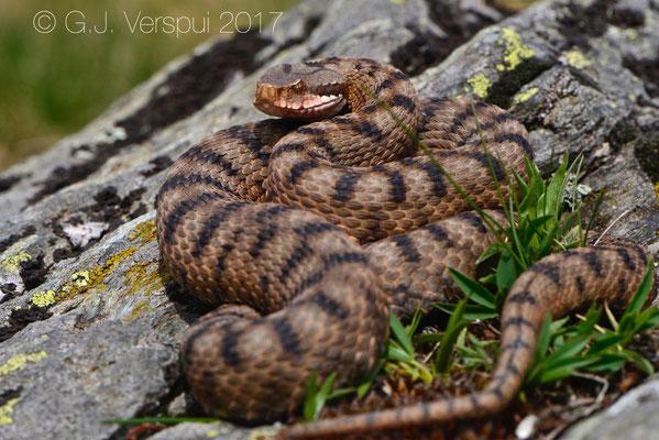 Female Asp Viper - Vipera aspis 'atra'