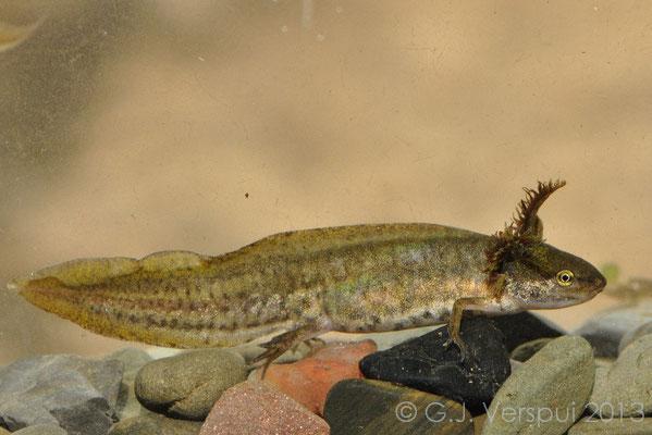 Common Newt - Lissotriton vulgaris graecus (neotenic)