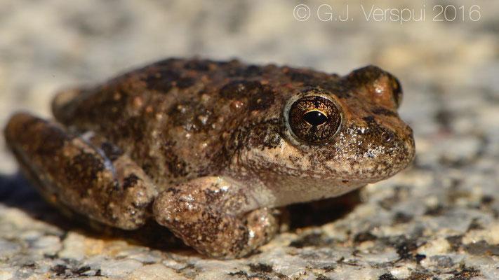California Tree Frog (Pseudacris cadaverina)