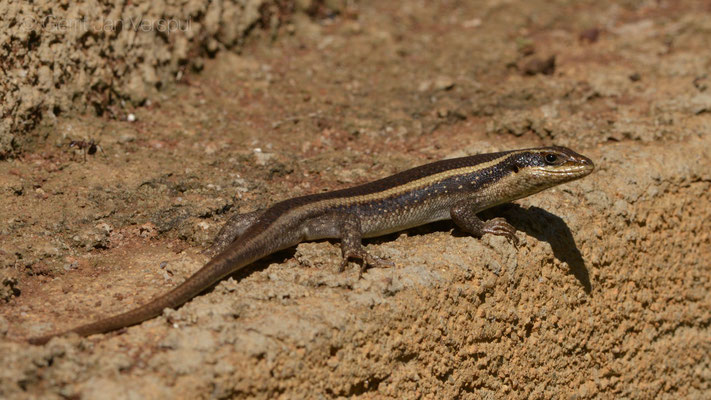 Striped Skinks - Trachylepis striata