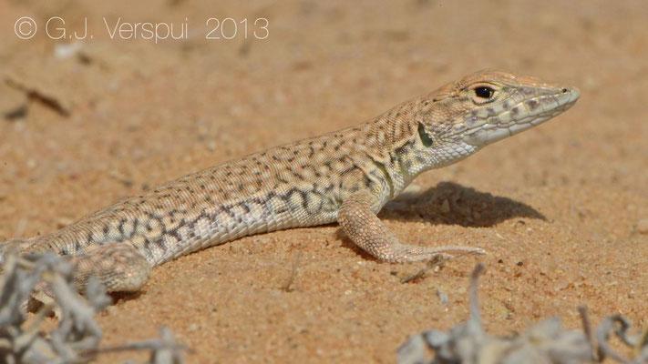 Nidua Fringe-Fingered Lizard - Acanthodactylus scutellatus