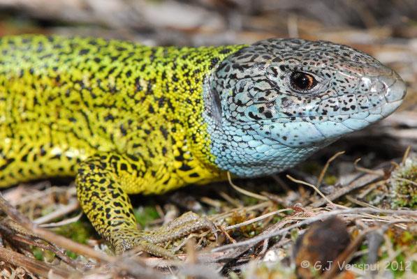 Schreiber's Green Lizard - Lacerta schreiberi (male)