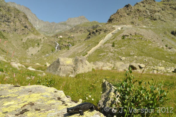 Lanza's Alpine Salamander - Salamandra lanzai