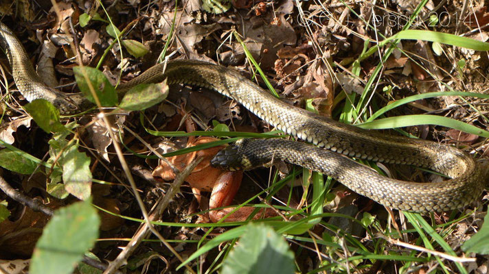 Grass Snake & Agile Frog, In Situ