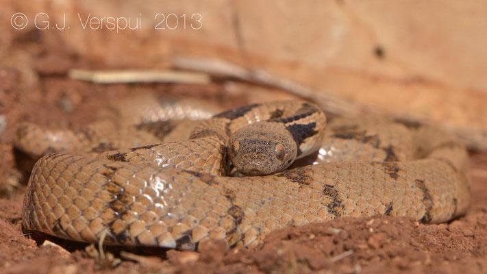 European Cat Snake - Telescopus fallax syriacus