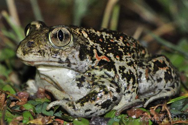 Eastern Spadefoot Toad - Pelobates syriacus   In Situ