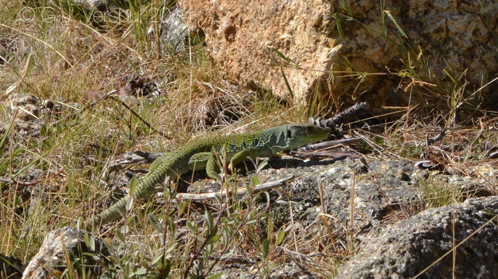 Male Ocellated Lizard - Timon lepidus