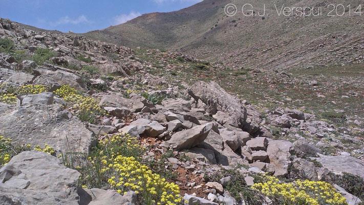 Habitat of Bridled Mabuya, Hermon Lizard, Hermon Bowfoot Gecko & Lebanon Viper.