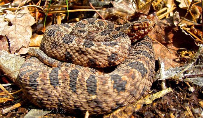 Pigmy Rattlesnake - Sistrurus miliarius    In Situ after flipping a piece of wood.