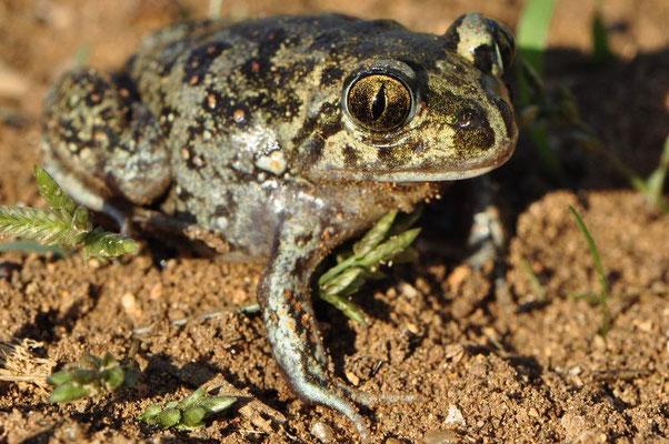 Eastern Spadefoot Toad - Pelobates syriacus (Juvenile)