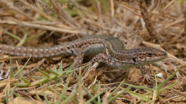 Carbonell's Wall Lizard - Podarcis carbonelli berlengensis, Not in situ