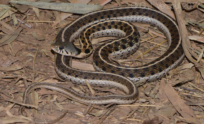 Thamnophis cyrtopsis