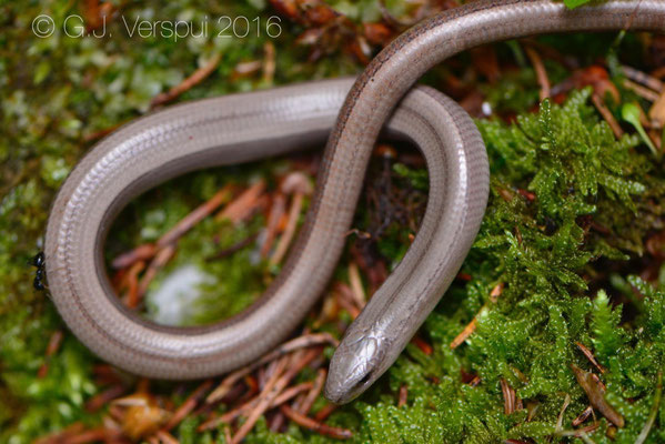 Slow Worm - Anguis fragilis