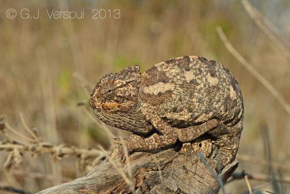 Mediterranean Chameleon - Chamaeleo chamaeleon recticrista