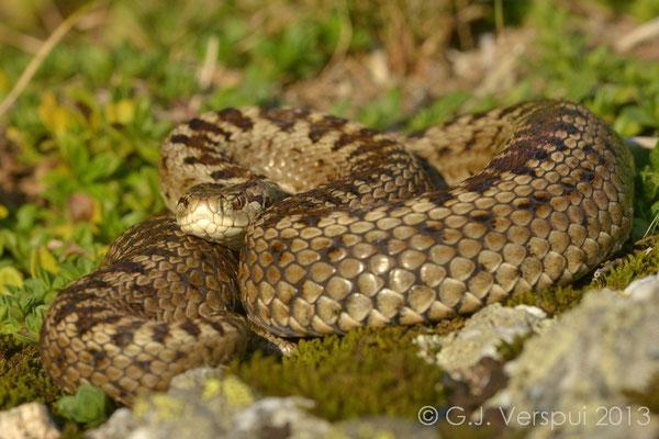 Meadow Viper - Vipera ursinii macrops   (4)