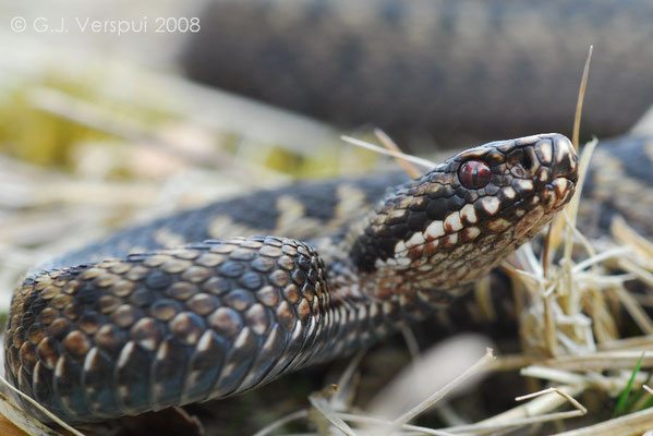 Male Adder - Vipera berus