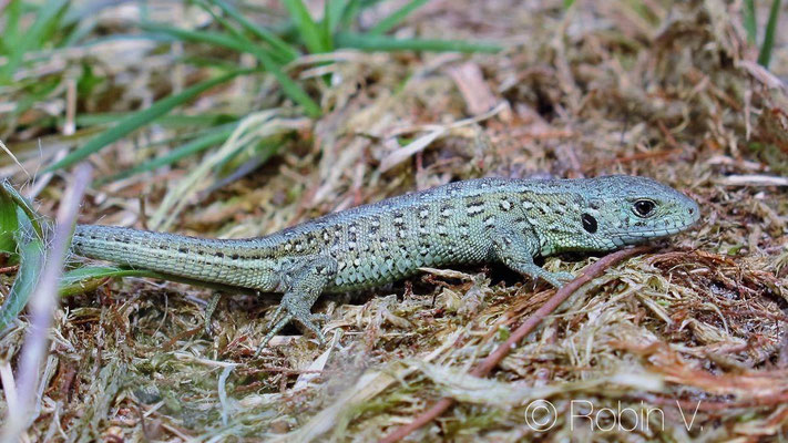 Juvenile Sand Lizard - Lacerta agilis with special paint on it