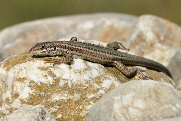 Erhard's Wall Lizard - Podarcis erhardii livadiacus (Female)   In Situ